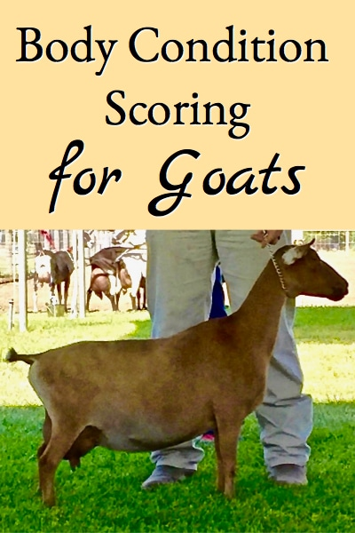 Learn what body condition scoring for goats is all about so you can tell whether your goats are too fat or thin or just right!