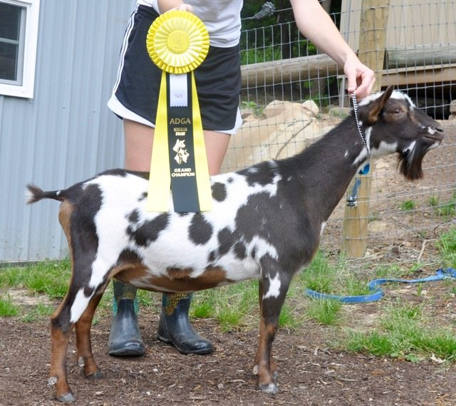 Celtic Quinn Grand Champion