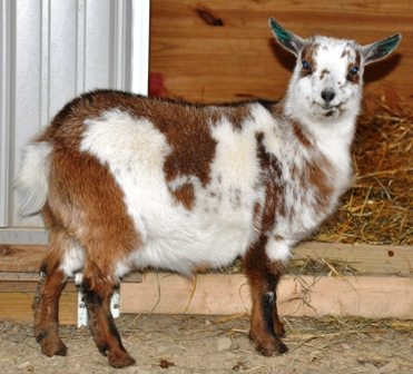 Goats - How Much Cold Can They Take