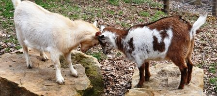 Annual Injections for Goats