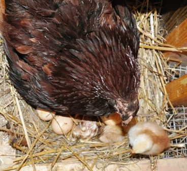 broody with 3 chicks
