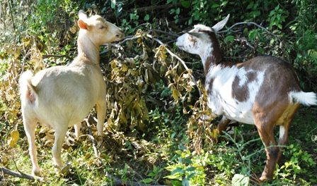 Nigerian Dwarf Goats Browsing In Wooded Pasture