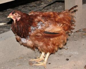 molting-chicken