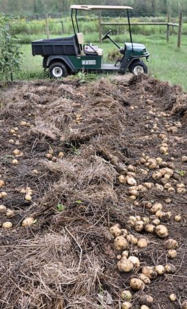 planting & growing potatoes: the lazy bed method