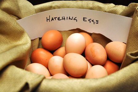 clean chicken eggs collected for hatching