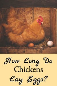 How Long Chickens Lay Eggs