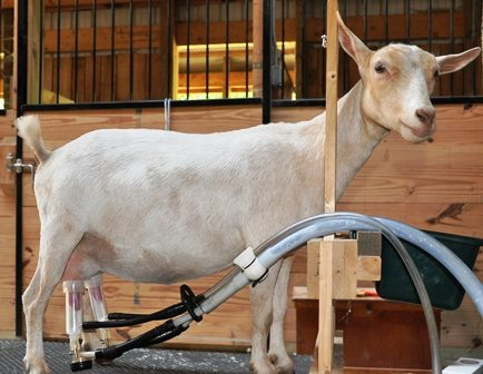 Machine Milking A Dairy Goat