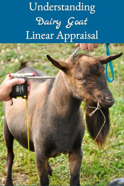 Here are some basics to help understand dairy goat linear appraisals