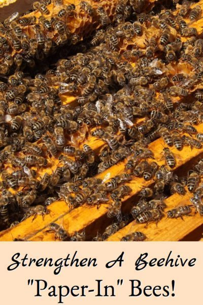 """how-to """"paper-in"""" bees to strengthen a bee hive"""