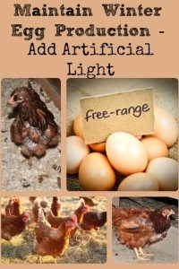 Maintain Winter Egg Production – Add Artificial Light
