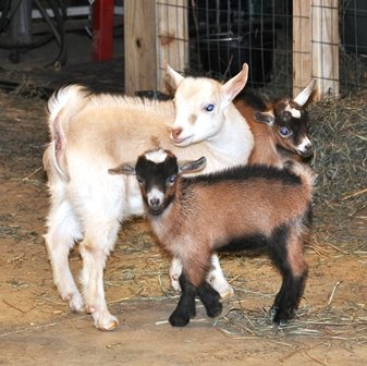 Young buckling and wethers