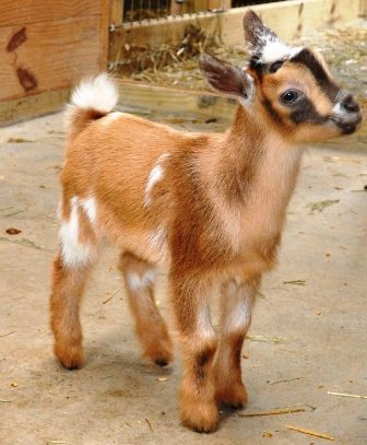 What Are Polled Goats - Toffee