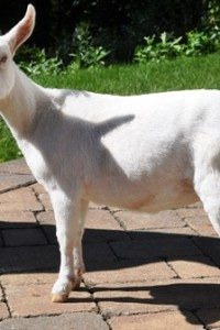 Two Beautiful Nigerian Dwarf Does For Sale