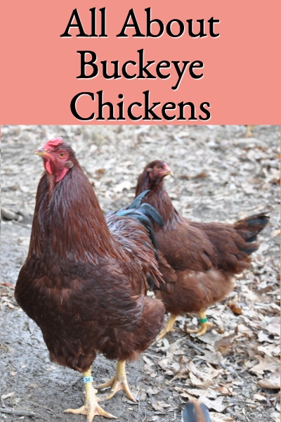 All About Buckeye Chickens