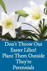 Don't Throw Your Easter Lilies Out (How To Keep Easter Lilies After Easter)