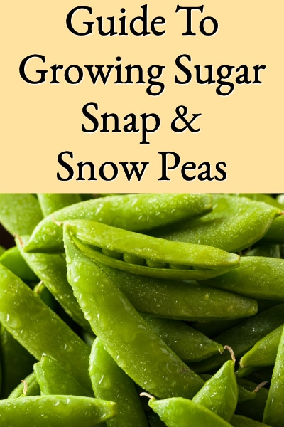 guide to growing sugar snap & snow peas