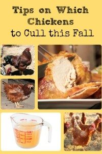 Fall Chicken Culling