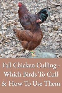 Fall Chicken Culling – Which Birds To Cull & How To Use Them