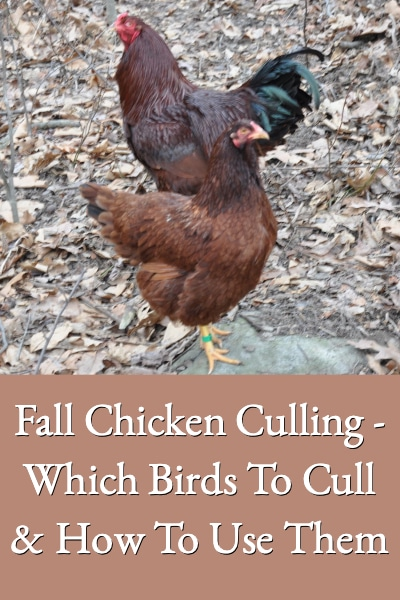 fall-chicken-culling