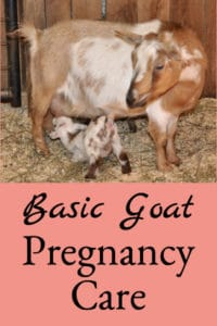 Basic Goat Pregnancy Care