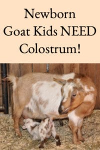 Newborn Goat Kids Need Colostrum