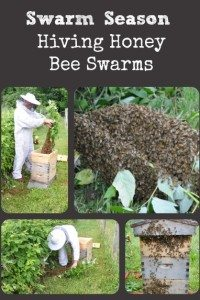 Swarm Season – Hiving Honey Bee Swarms