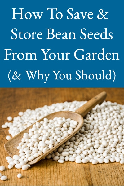 how to save bean seeds from your garden