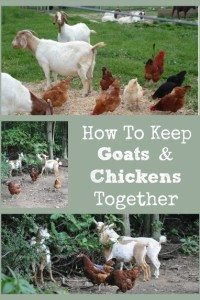 The Intricacies of Keeping Goats & Chickens in the Same Yard