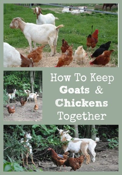 Keep Goats & Chickens Together Collage
