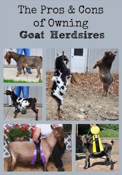 The Pros & Cons of Owning Goat Herdsires