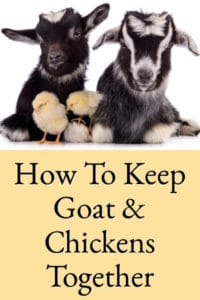 How To Keep Goats & Chickens In The Same Yard