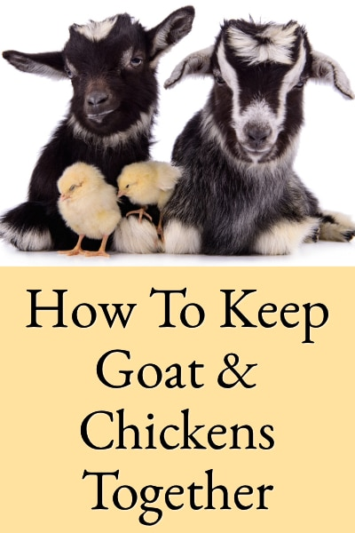 how to keep goats & chickens together