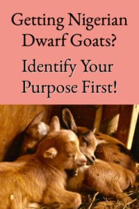 Getting Nigerian Dwarf Goats? Identify Your Purpose