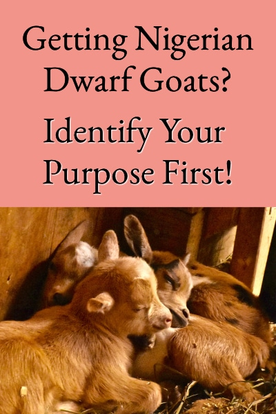 Getting Nigerian Dwarf Goats - Identify Your Purpose