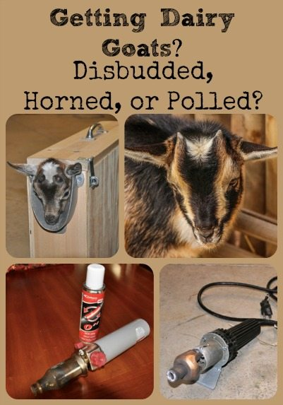 Disbudded, Horned, or Polled