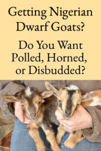 Getting Dairy Goats - Do You Want Polled, Horned, or Disbudded