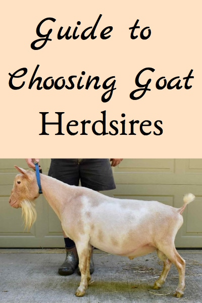 It's important to choose great goat herdsires for the advancement and improvement of your herd. Here are some methods to help you choose herdsires that will improve your herd and profits!