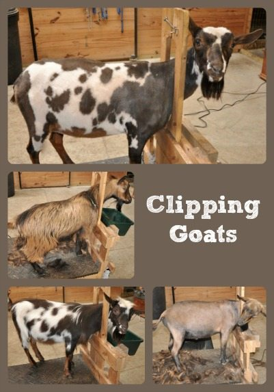 Clipping Goats Collage