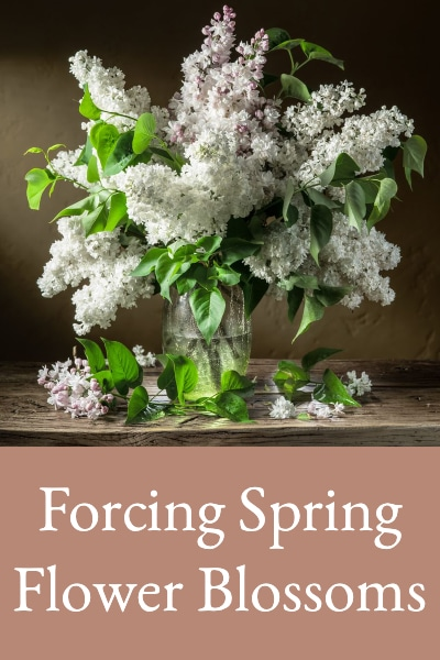 forcing spring blossoms