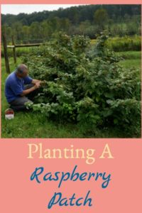 Planting A Raspberry Patch