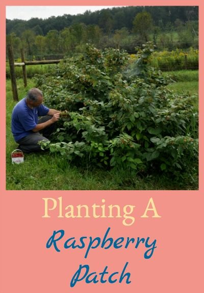 Raspberries are perennials so they make great additions to the homestead. It's easy to establish a patch so you can enjoy raspberries every year - here's how!