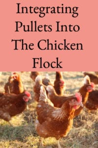 Integrating Pullets into the Chicken Flock