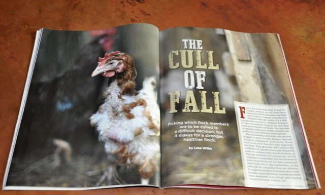 Chicken Culling Article Photo