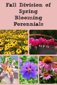 Fall Division of Spring and Summer Blooming Perennials