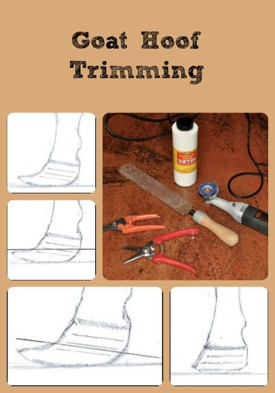 goat-hoof-trimming