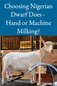 Choosing Nigerian Dwarf Does – Hand or Machine Milking?