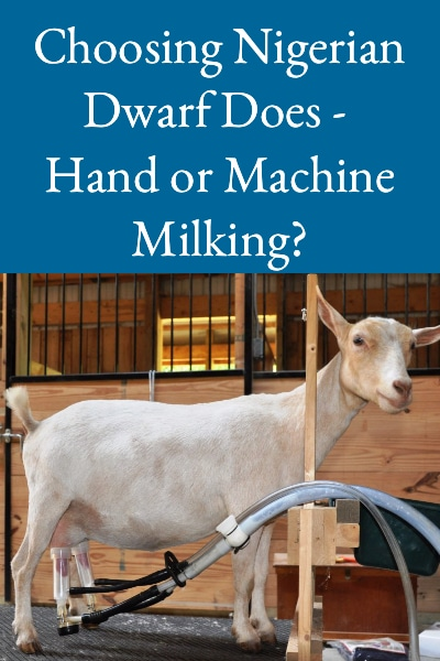 Choosing Nigerian Dwarf Does - Hand or Machine Milking