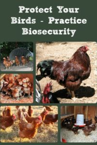 Protect Your Birds (& Free Chicken Calendar Link)!