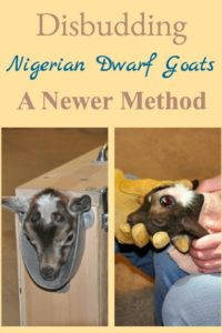 Disbudding Goats – A Newer Method
