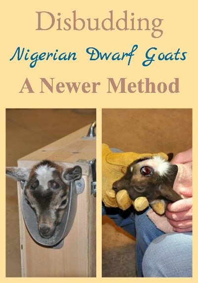 Disbudding A Newer Method - or an easier method for disbudding goats